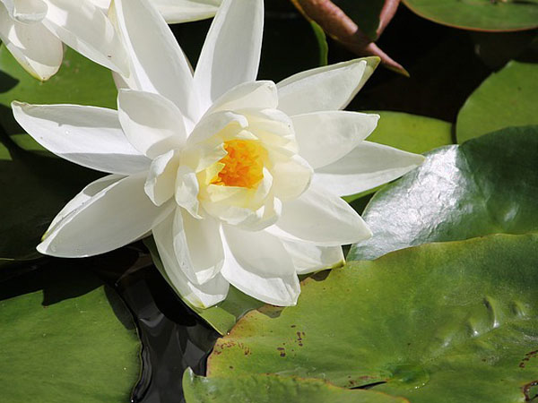 Amazing Health Benefits Of Water Lily