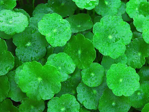 Amazing Health Benefits Of Gotu Kola Leaf
