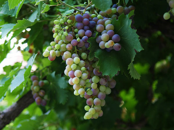 Benefits Of Grapes Angoor For Skin
