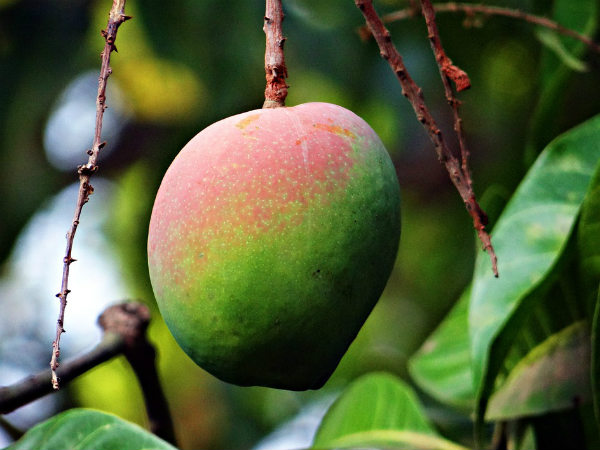 11 Amazing Health Benefits Of Mangoes