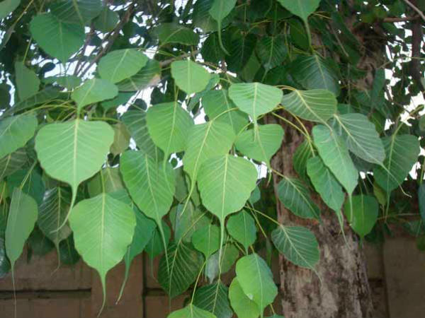 Why Is The Worship Of Peepal Tree On Saturday Is Beneficial