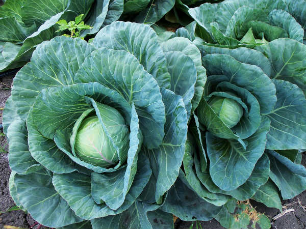Is Cabbage Good For Health