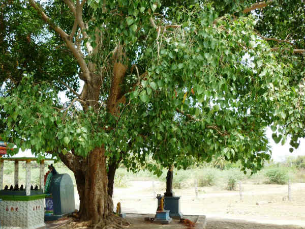 which trees in India are considered divine