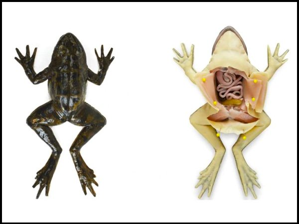 artificial frogs for dissection