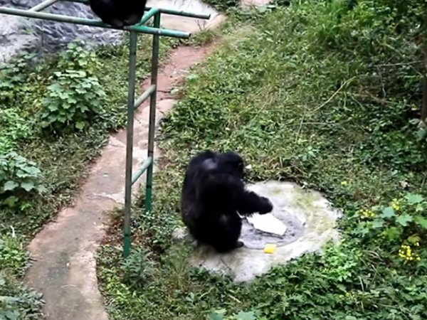 This Viral Video Of Chimpanzee Carefully Washing A T Shirt