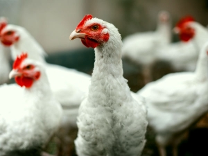 Is Broiler Chicken Unhealthy