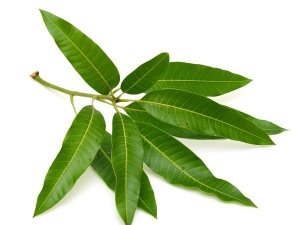 Mango Leaves For Diabetes Treatment