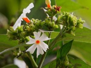 Health Benefits Of Parijat