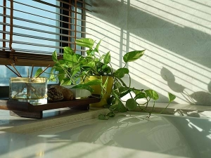 Vastu Tips Rules To Keep A Money Plant At Home