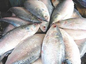 Health Benefits Of Hilsa Fish In Bengali