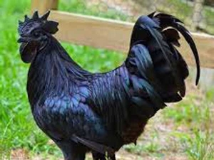Health Benefits Of Kadaknath Chicken