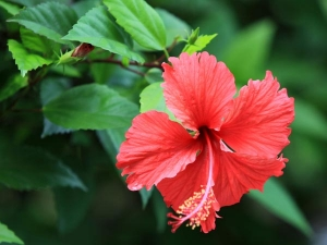 Ways To Use Hibiscus For Your Hair In Bengali